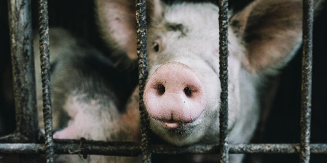 Agricultura  alerta de Peste Porcina granjas de cerdo en República Dominicana