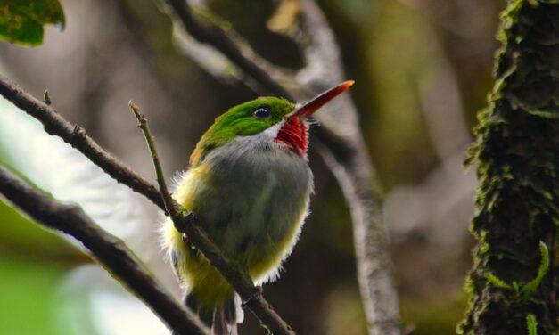 Compilan en atlas las aves reproductoras de Puerto Rico