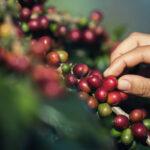 Preocupación en Puerto Rico por descubrimiento de hongo que afecta cafetales