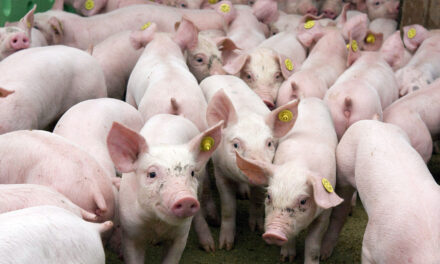 Inician vigilancia de peste porcina